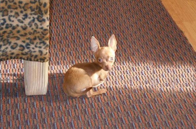 前脚を持たずに生まれた1匹のチワワが世界中に勇気と希望を与える