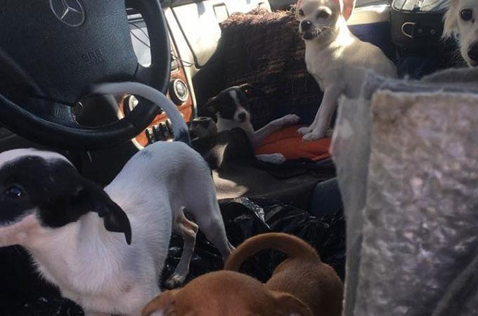 真夏の熱せられた狭い車の中で生活をする22匹の犬たちが保護される