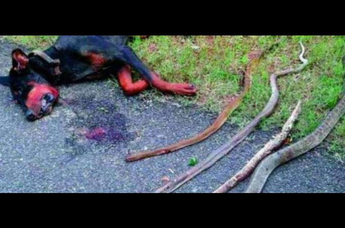 家族になって数ヶ月後、ヘビに襲われ必死に戦い命をかけて家族を守った犬