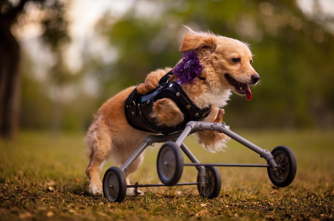 生まれつき前足がないからと捨てられた犬。1人の女性が保護したおかげで元気に走り回る