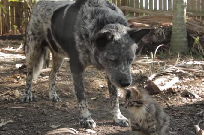 脳の障害の影響でうまく歩けない子猫を心配そうに見守る犬の姿に心あたたまる