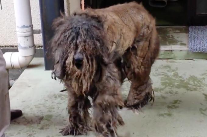 バリカンが通らないほど毛が伸びきった犬。飼育放棄されひどい状態から生まれ変わるまで