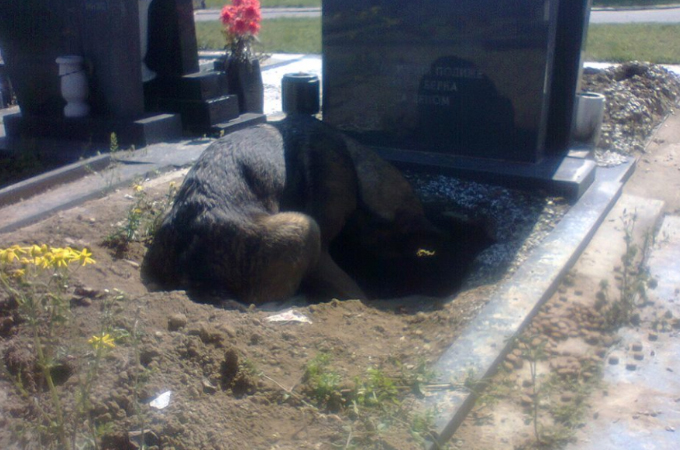 お墓に穴を掘りうずくまり長時間、水も餌も口にしていない様子の1匹の犬。その理由とは