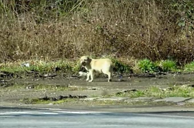 車通りが激しい道路をうろうろする子犬。保護団体によって無事に保護される