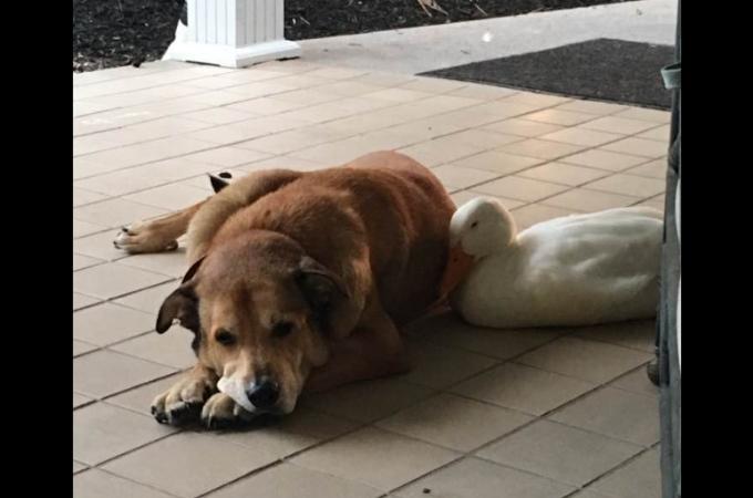 12年間ともに過ごした相棒を亡くし悲しみに暮れていた1匹の犬が1羽のアヒルによって元気を取り戻す