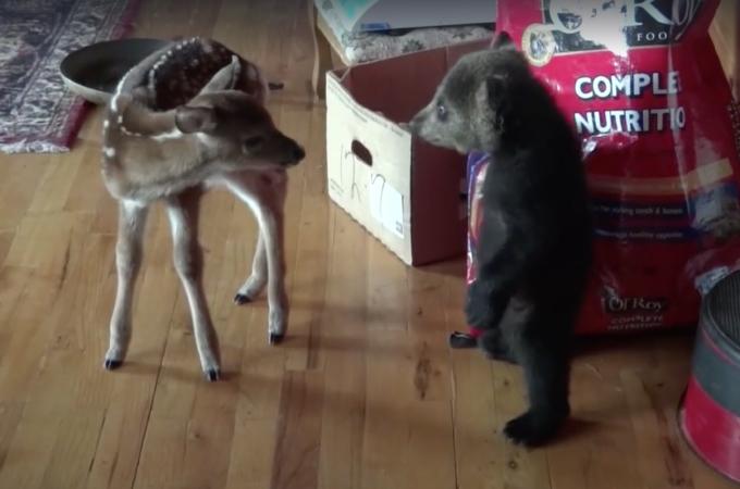 【動画】野生動物保護施設に保護された小鹿と小熊。初対面の2頭の様子に思わずほっこり