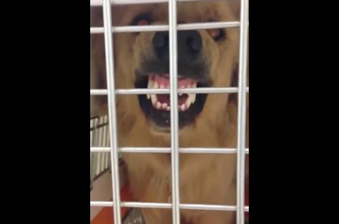 ペットショップの前に捨てられたゴールデンレトリバー。人を寄せ付けなかったその犬の数週間後の姿