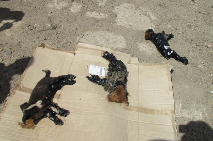 ルーマニアで発見されたタールまみれにされた子犬たち。男性の懸命な救出によって無事に助かる