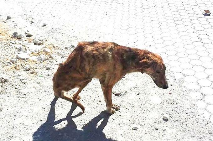 虐待を受け半身不随となったホームレス犬の飼い主となった旅行者