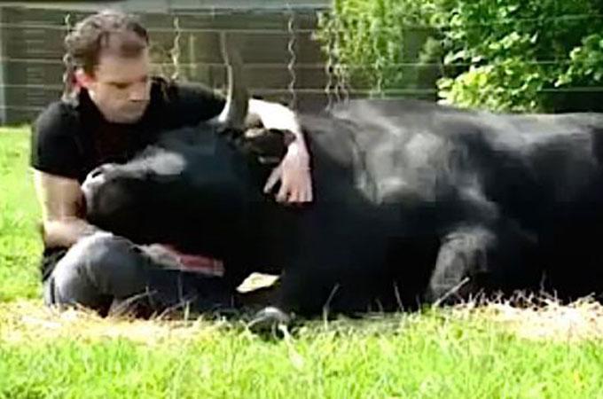 闘牛は獰猛で怖いと言う誤解を払拭するため牛をペットにした1人の男性