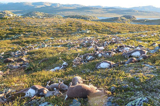 ノルウェーで300頭を超えるトナカイが落雷によって命を落とす
