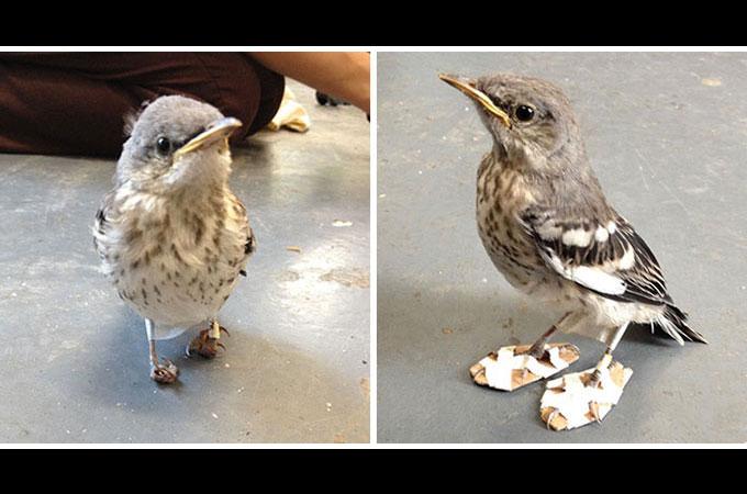 小さな鳥の負傷した足を修復するため作成されたスノーシュー