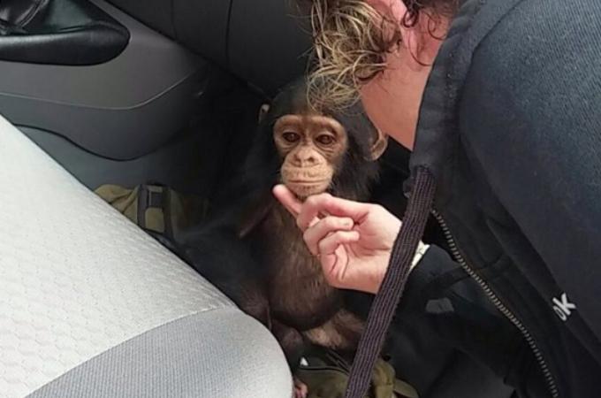 ロープで縛り上げられ、虐待を受けたチンパンジー。怯えるチンパンジーが再び人間を信頼するまで