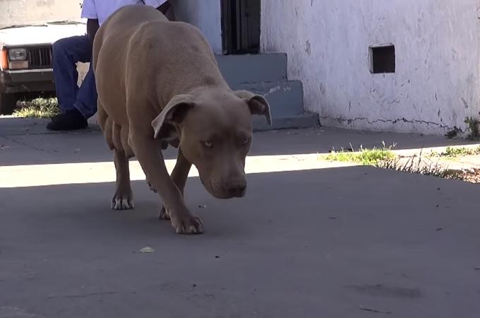 動物保護団体によって無事に保護されたピットブルの親子