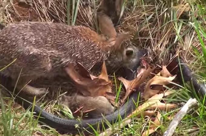 我が子に襲いかかる大きなヘビを追い払うため命懸けでたたかう母ウサギ