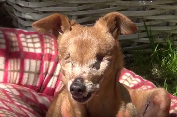 12年間パピーミルで過ごし両目を失った犬が幸せを手に入れるまで