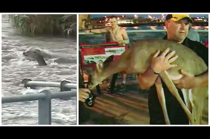 荒れ狂う洪水で溺れた小鹿を自らの命の危険を顧みず救出に当たった男性