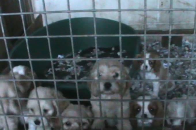 オンラインでペットを取引。そのほとんどの子犬が病気だと判明。詐欺の容疑で女3人を逮捕