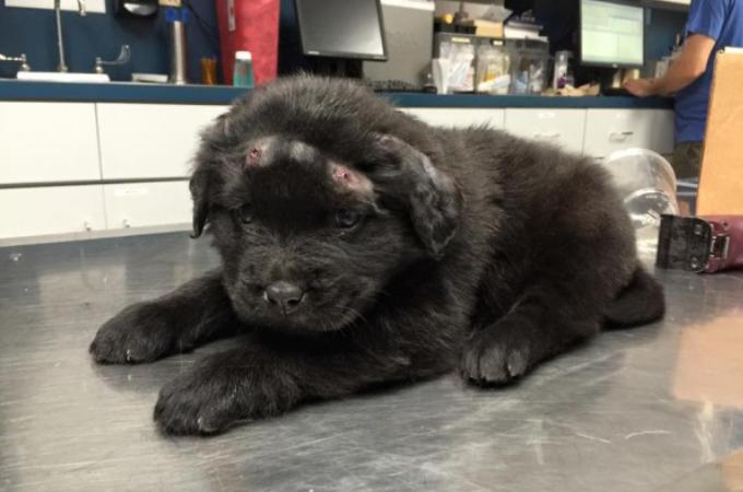 エアガンで18発もBB弾を打ち込まれた子犬。検査の結果、体内にも弾があることが判明。