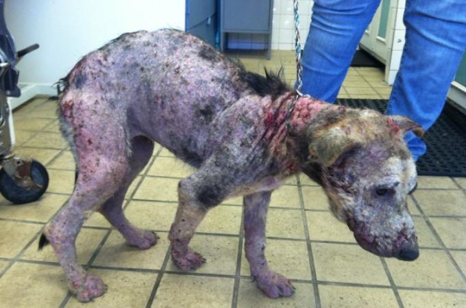 皮膚病によって酷い状態だった犬が過酷な治療を乗り越え、回復し本来の姿を取り戻すまで
