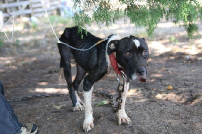 満足な食事と水を与えてもらえず、闘犬として飼われていた14匹が保護される