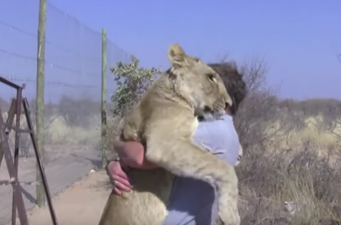 昔育ててくれた男性と、久々の再会を果たしたライオン!その時ライオンがとった行動とは
