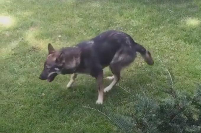 二度と歩けないと言う獣医師の診断が間違いであると自らの脚で証明した1匹の犬