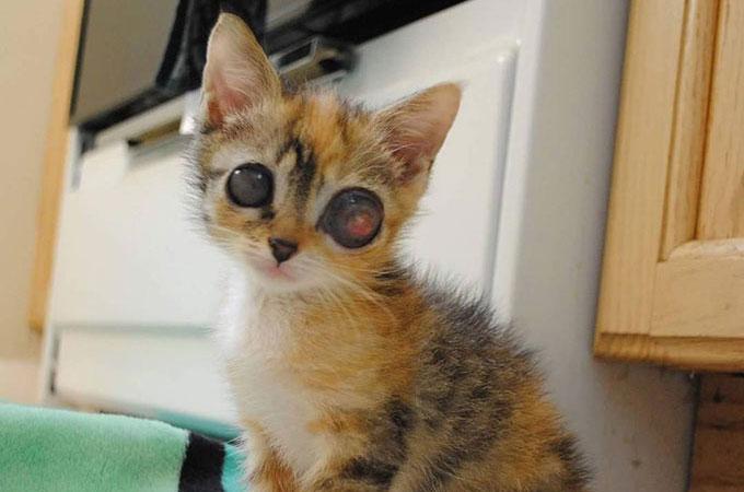 細菌感染が放置されカエルのような巨大な目となり眼球が破裂してしまった子猫