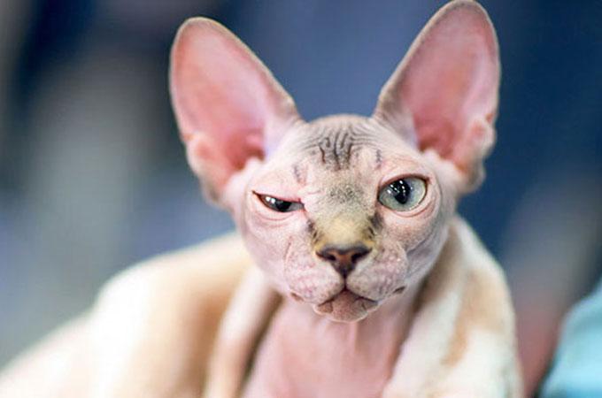 スフィンクスの子猫であるかのように体毛を剃り販売する詐欺事件が発生