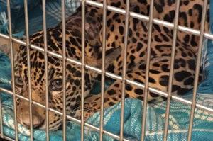 ハンターにより18発の弾丸を受け四肢麻痺となったジャガーの子供が見つかる