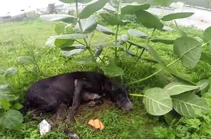 感染症により5倍に腫れ上がった子宮のホームレス犬が雨の中助けを待ち続ける