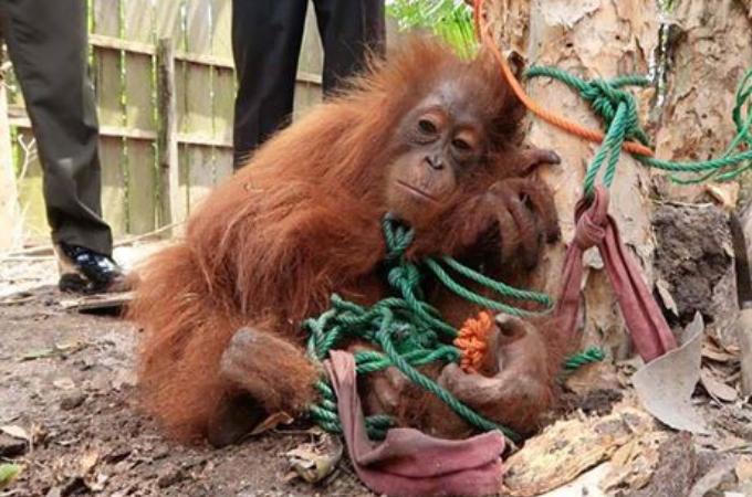 人間によって木に縛られ「商品」として売られるオランウータン。希望を失った眼に胸が締め付けられる