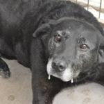 里親に捨てられた老犬。48kmもの道のりを歩いて帰るも受け入れてもらえず再びシェルターに