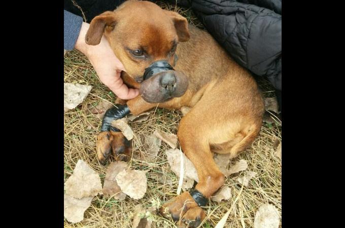 口と足を絶縁テープで縛られ捨てられた犬が保護され、その後多くの動物たちを救う役割を果たす
