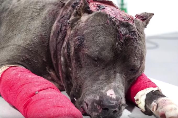 闘犬の噛ませ犬としてズタズタにされたベッツィーのその後の姿にほっと胸を撫で下ろす