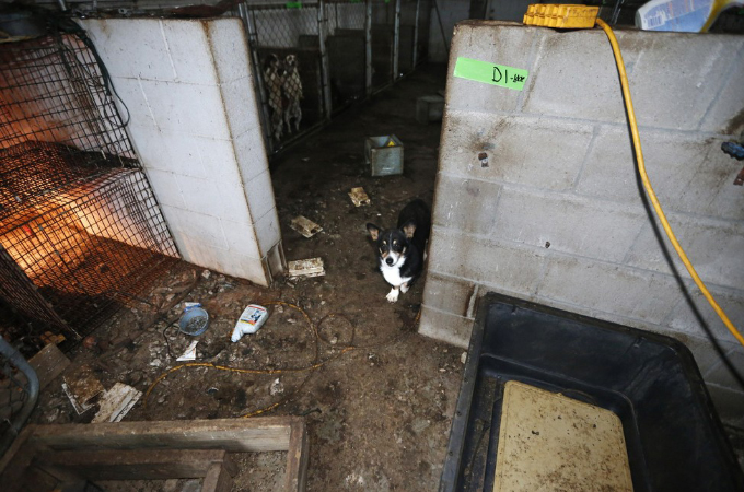 悪質なパピーミルから救われた子犬。無事に保護され里親のもとで立派に成長する