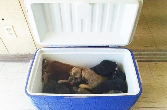 クーラーボックスの中に入れられ道路脇に捨てられた9匹の子犬。健康に問題なく無事に全匹里親に引き取られる