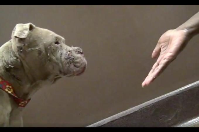 闘犬の犠牲となり、逃げ出し迷子犬になったピットブル。無事に保護され幸せを手にいれる