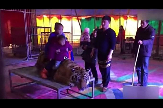 台の上に縛り付けられたサーカスのトラの上にまたがり記念撮影をする観客たち