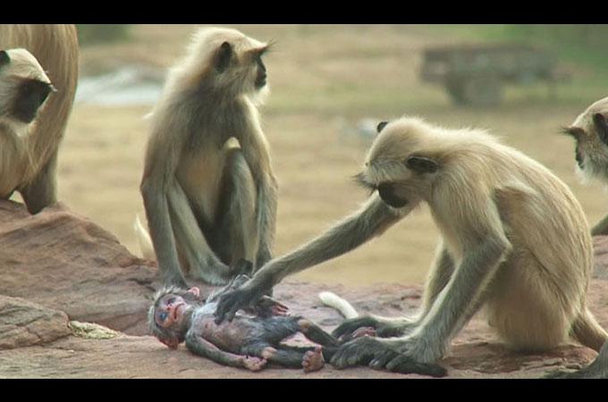 赤ちゃんの死を悲しむ猿の群れの姿を捉えた映像に人々が涙する