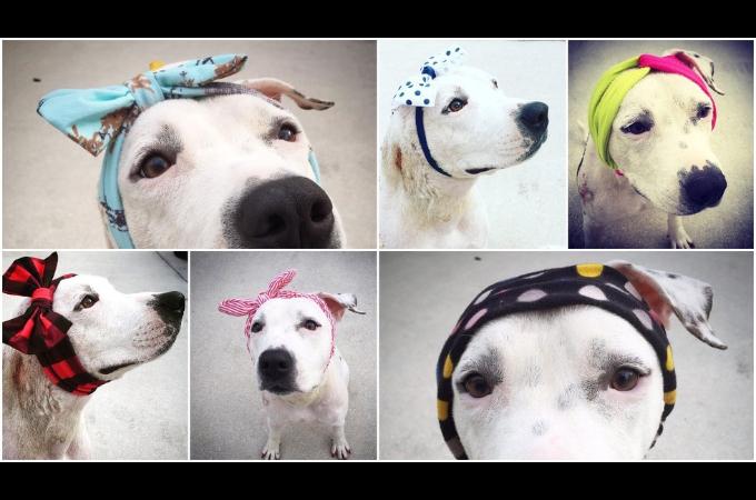 闘犬の噛ませ犬だった犬の食いちぎられた耳を隠すために世界中から素敵な帽子が送られる