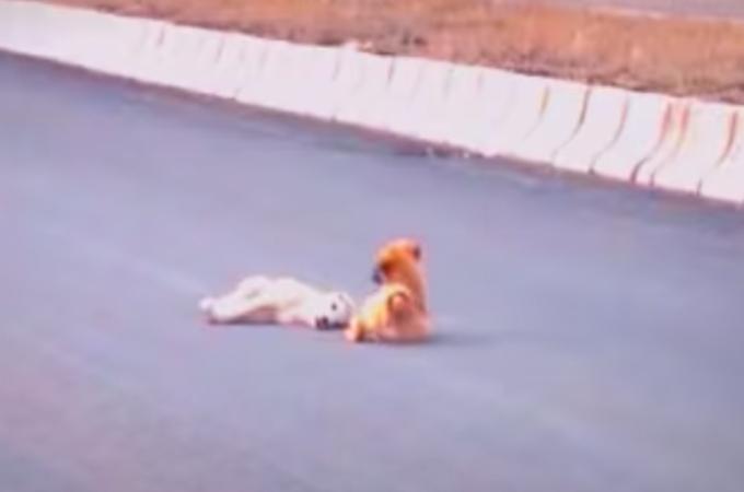 車に跳ねられ瀕死の子犬に寄り添うもう1匹の子犬。懸命に励ますその姿に胸が締め付けられる