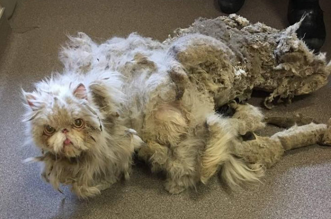 自分の体重の半分以上の重さの毛量をまとったペルシャ猫。このような姿になった原因と、その後
