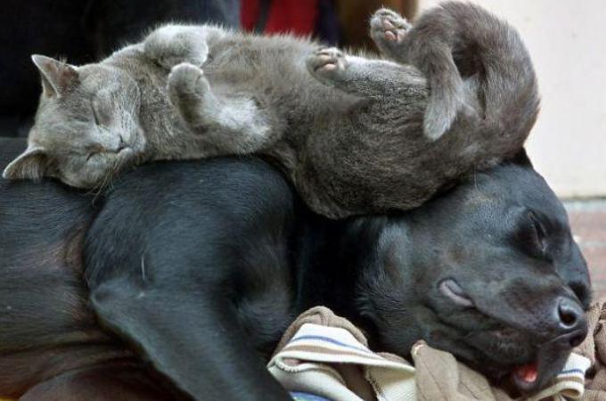 なんで猫は犬を枕にして寝るの?犬を枕にしてスヤスヤと眠る猫たち画像21枚