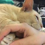 手をつないでいないと眠りにつけない、飼い主の事情で行き場を失った13歳のシニア猫「ジェイミー」