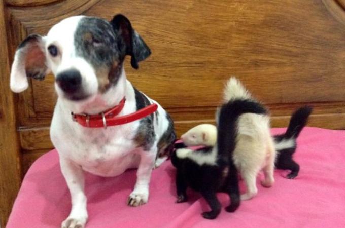 生まれてすぐに母親に見捨てられたスカンクの赤ちゃん。そして、保護された家にいた先住犬がとった行動とは
