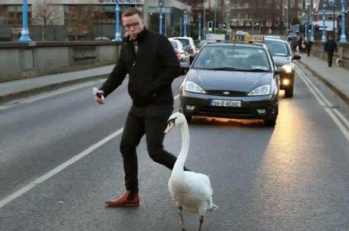 車の行き交う道路で迷子の白鳥を発見した男性。無事を確認すると、川へと案内する。