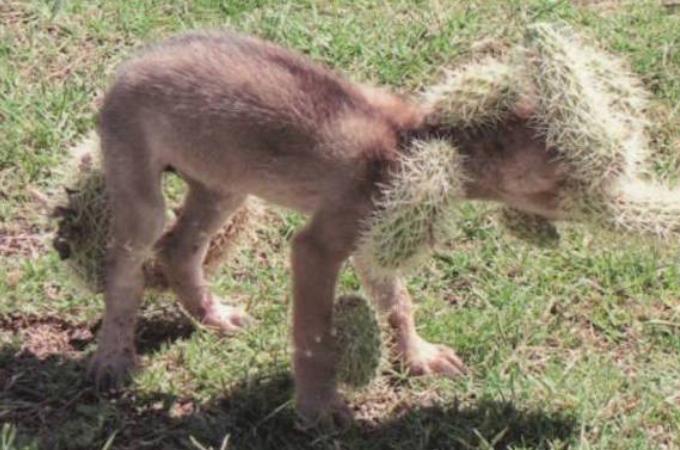 全身にサボテンが刺さった野生のコヨーテを発見した男性。そして、痛みに泣き叫んでいたコヨーテを救助する