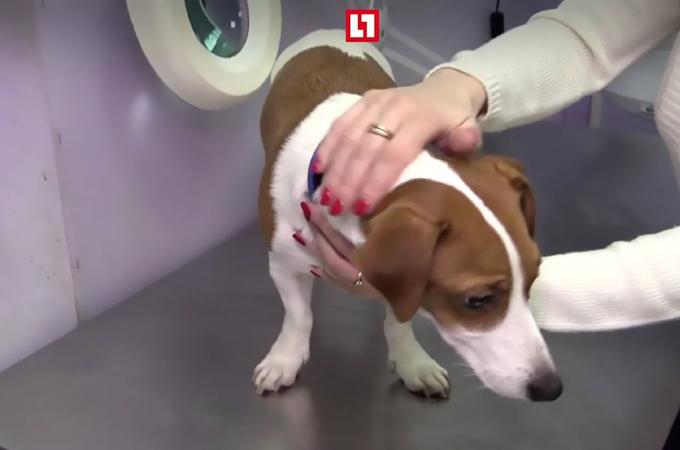 「耳が垂れていた方が可愛い」という理由で、犬に整形手術を受けさせた家族。罪悪感もない飼い主に非難殺到
