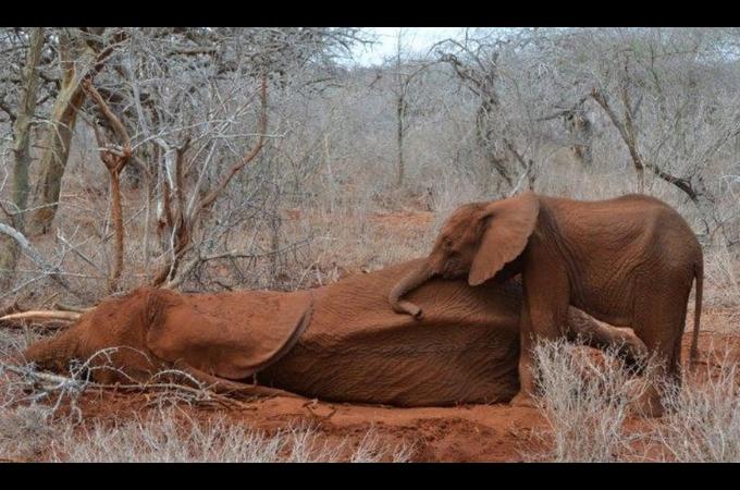 ハンターに撃たれ命を落とした母親ゾウのそばにずっと寄り添う子供のゾウ。その姿に胸が締め付けられる。